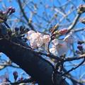 Photos: 桜~材木座