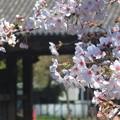 桜~増上寺