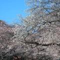 上野公園~桜並木