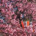 上野公園~陽光桜
