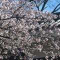 桜~北の丸公園