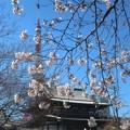 桜~芝増上寺