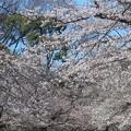 桜~上野恩賜公園