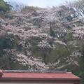 山桜 逗子