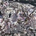 横浜 大岡川の桜