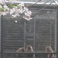 お猿さんの花見