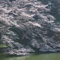 桜ありがとう