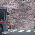 桜ありがとう~逗子