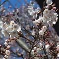 桜ありがとう~つくば市