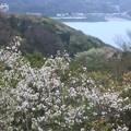 Photos: 桜の季節~逗子披露山