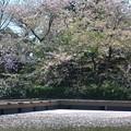 Photos: 桜~源氏池