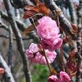 Photos: 八重桜~披露山公園