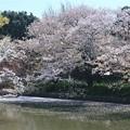 Photos: 桜ありがとう