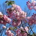 Photos: 八重桜~材木座