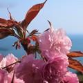 Photos: 披露山公園の八重桜