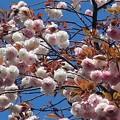 Photos: 八重桜~大崎