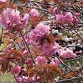 Photos: 八重桜~葉山元町