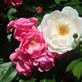 Photos: 薔薇~厚木