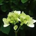 紫陽花~長谷
