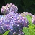 紫陽花~芝公園