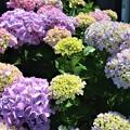 Photos: 紫陽花~はやま紫陽花公園