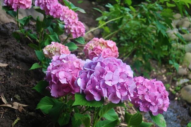Photos: 紫陽花~葉山元町