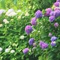 Photos: 披露山公園の紫陽花
