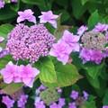 Photos: 山紫陽花の季節