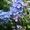 Photos: 紫陽花~蘆花公園