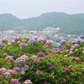 Photos: 紫陽花~葉山