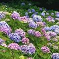 Photos: 葉山の紫陽花