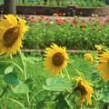 向日葵~海風公園