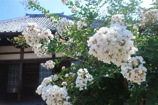 Photos: 白百日紅~葉山元町