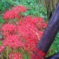 彼岸花の季節 葉山