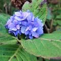 Photos: 紫陽花~ははのくに
