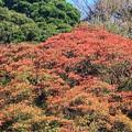 紅葉~鎌倉材木座