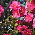 Photos: 山茶花~大崎公園