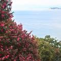 大崎公園の山茶花