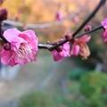 Photos: 紅梅~蘆花記念館