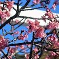 寒桜~鎌倉宮