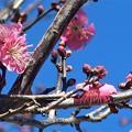 Photos: 紅梅~久木大池