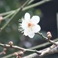 Photos: 梅~東慶寺