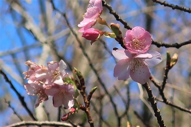 河津桜~大崎公園