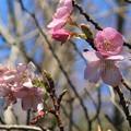 Photos: 河津桜~大崎公園