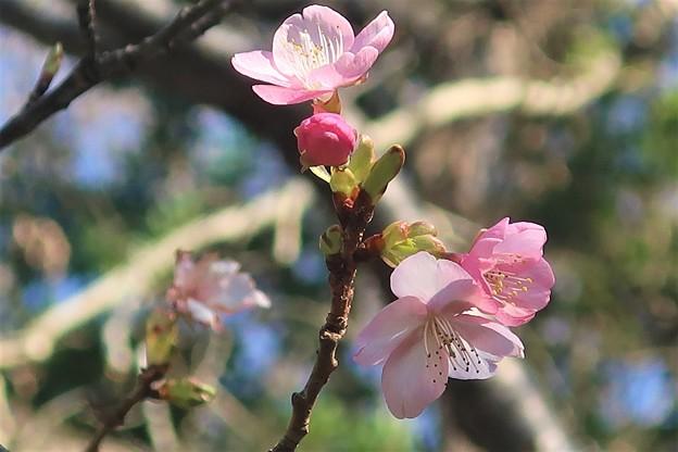 Photos: 逗子の河津桜