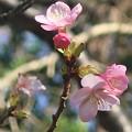 逗子の河津桜