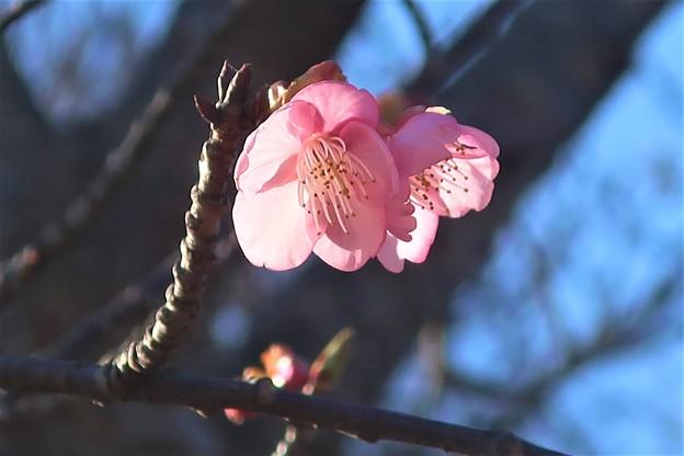 河津桜~鎌倉市大町