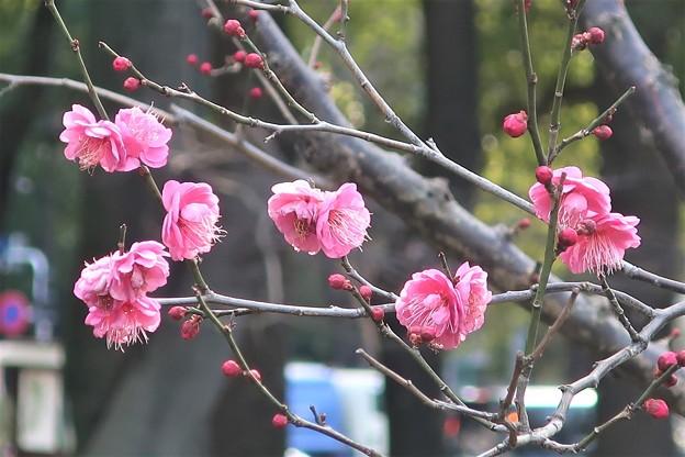 Photos: 紅梅~芝公園