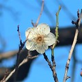 Photos: 梅~泉岳寺