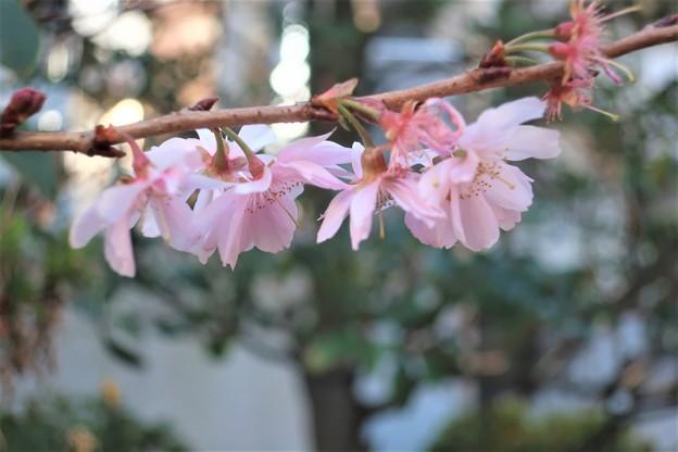 寒桜~高輪神社